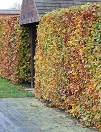 types of hedge plants beech hedge