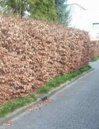 types of hedge plants hornbeam hedge