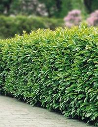 types of hedge plants laurel hedge