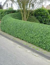 types of hedge plants privet hedge