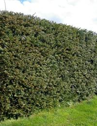 types of hedge plants yew hedge